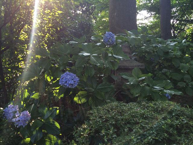 灯篭紫陽花1